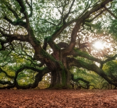 Angel Oak, Charleston, South Carolina, USA by Ruben Medrano